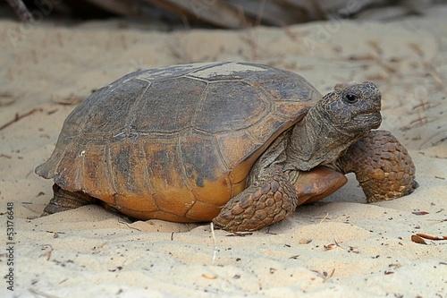 Gopher Tortoise (Gopherus polyphemus) Wallpaper Mural