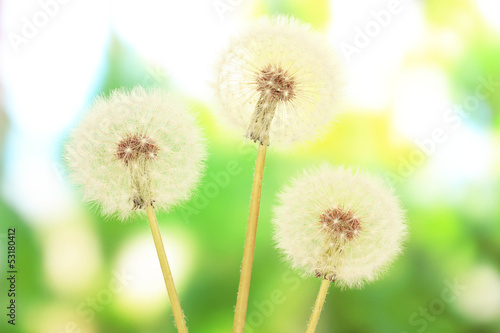 Dandelions on bright background