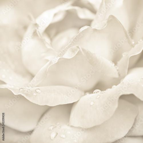 abstrakcjonistyczny-makro-strzal-piekny-smietanki-rozy-kwiat-z-kroplami