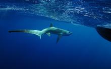 Thresher Shark Swimming In Oce...