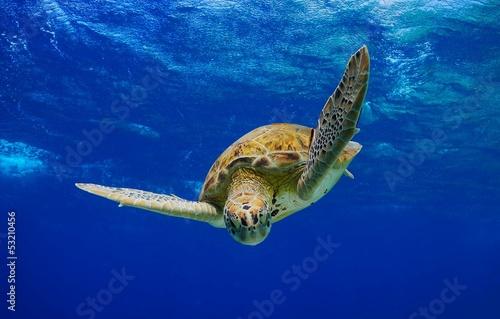 Foto op Aluminium Schildpad Green Sea Turtle descending into the blue
