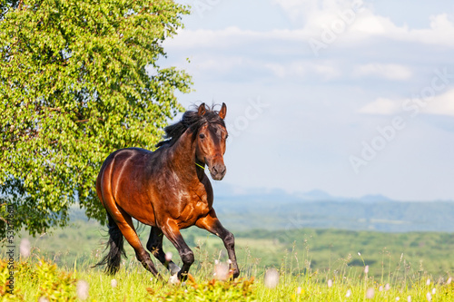Fotografía  Bay horse skips on a meadow against mountains