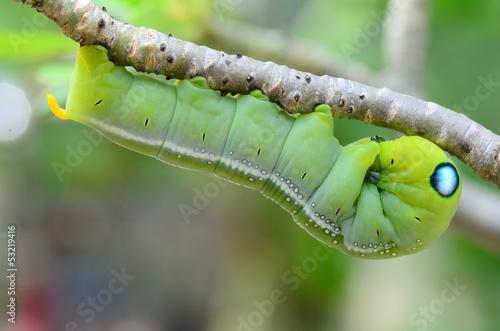 Photo  Caterpillar holding on branch