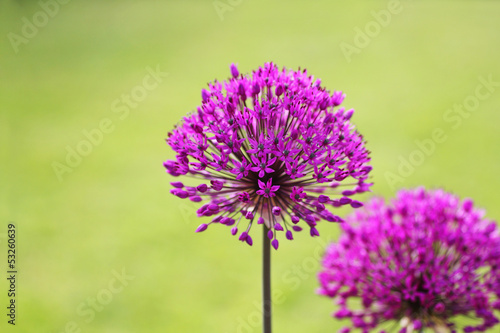 Printed kitchen splashbacks Purple Alliums