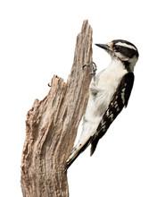 Pecking Woodpecker