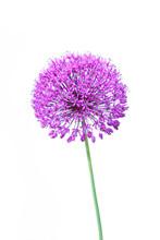 Beautiful Blooming Allium Clos...