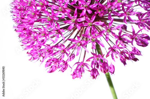 Beautiful blooming allium close up Fototapet
