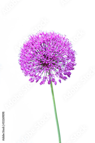 Tablou Canvas Beautiful blooming allium close up