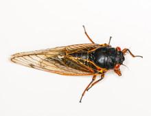 Macro Image Of Cicada From Brood II