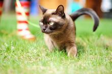 Burmese Cat Walking On Green Grass