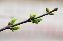 Green Buds On A Tree Branch
