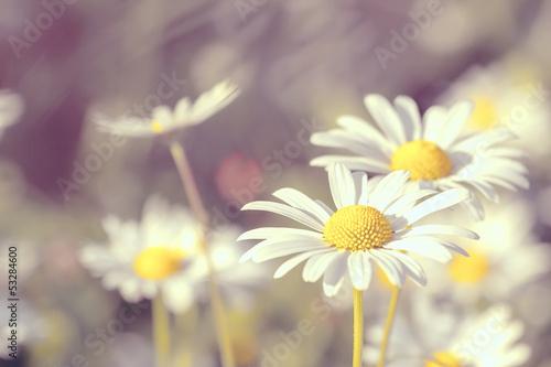 Foto op Canvas Madeliefjes daisy flowering pastel colors