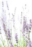 Lavender on white - 53287260