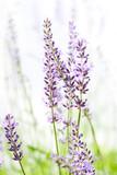 Lavender on white - 53287263