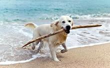 Labrador Retriever On The Beach