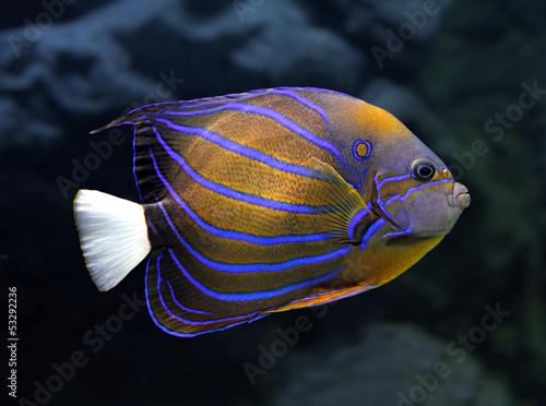 Photo angelfish underwater - pomacanthus annularis