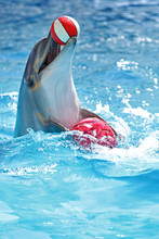 Dolphin With A Ball
