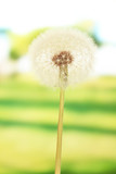 Dandelion on bright background