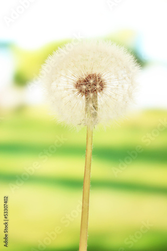 Dandelion on bright background