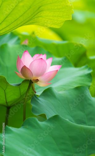 Foto op Canvas Lotusbloem pink lotus