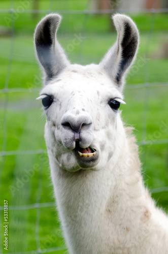 Tuinposter Lama Farm Animals - Lama