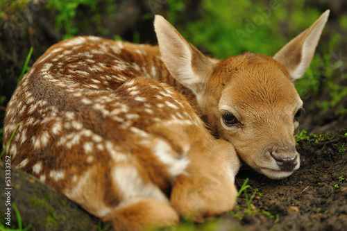 Photo  Just born young fallow deer
