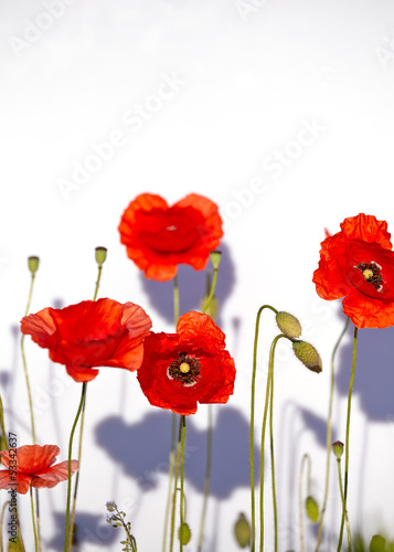 Field of beautiful red poppies isolated on white with shadow - 53342637