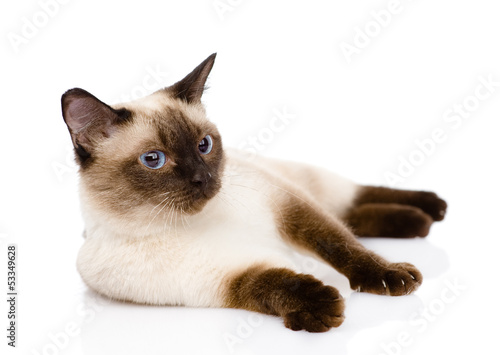 Fotografía  siamese cat. isolated on white background