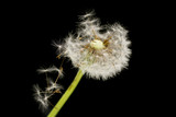 dandelion on a black background. macro