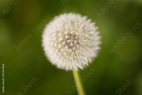beautiful dandelion on nature
