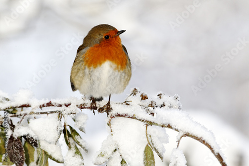Photo  Robin, Erithacus rubecula