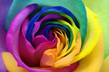 Close up of rainbow rose heart