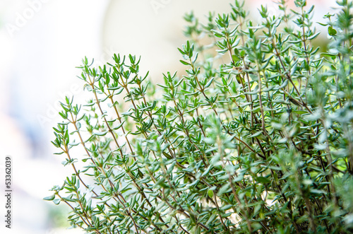 Foto Greem fresh growing thyme herb
