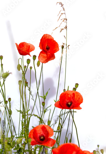 Isolated red poppies - 53376080