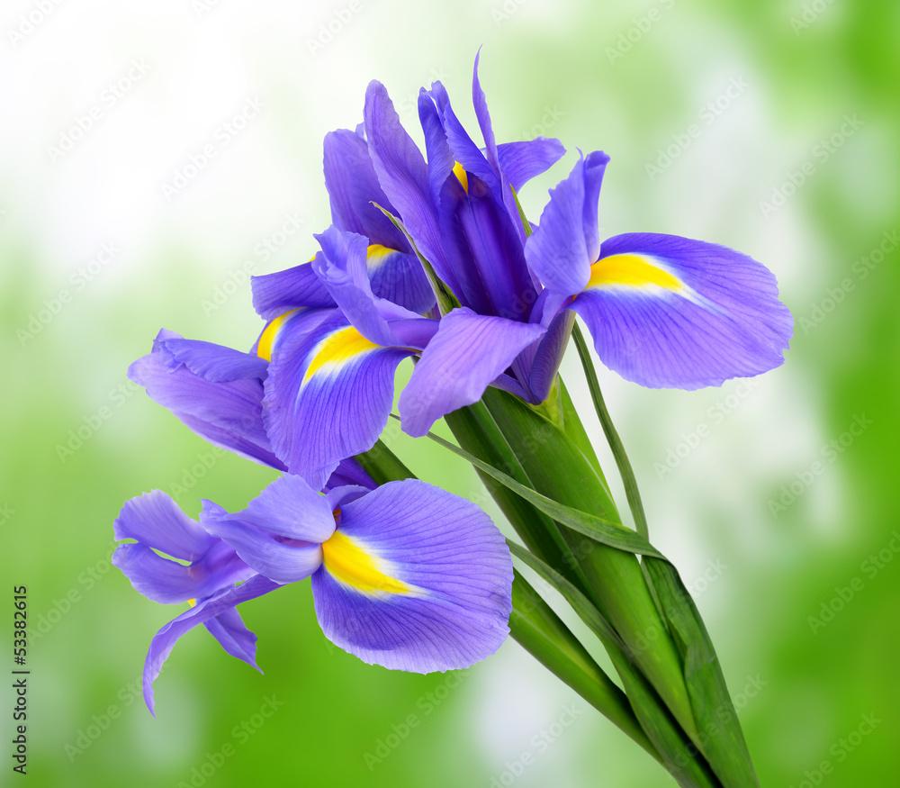 Fototapeta purple iris flower on green background