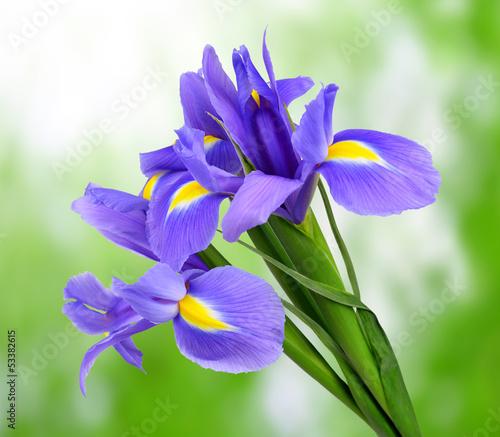 Poster Iris purple iris flower on green background