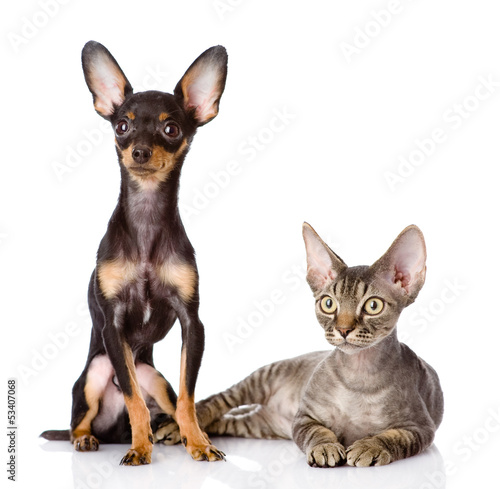Photo  devon rex cat and toy-terrier puppy together. isolated