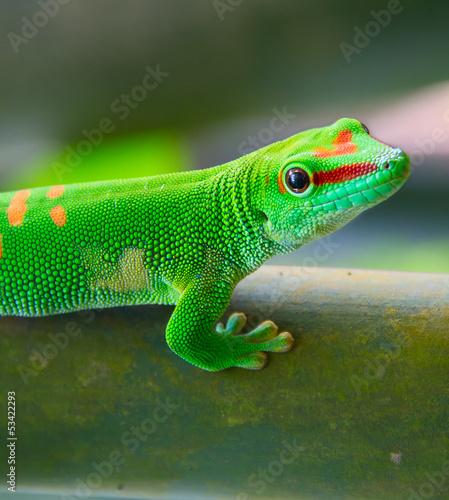 Foto-Flächenvorhang ohne Schienensystem - Green gecko (von swisshippo)