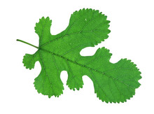 Mulberry Leaf