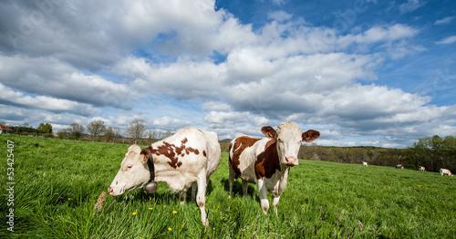 Papiers peints Vache Vaches qui broute