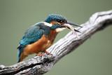 Kingfisher, Alcedo atthis,
