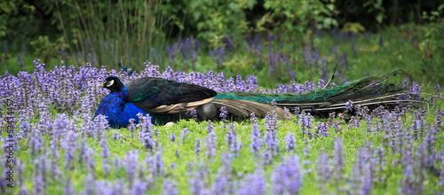 Fotografie, Obraz  paon caché dans les fleurs