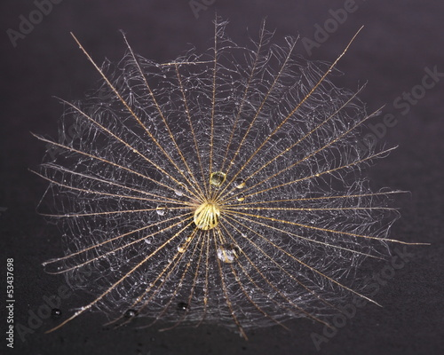 Foto op Plexiglas Paardebloemen en water Dandelion seed covered dew on black background