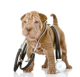 sharpei puppy dog with a stethoscope on his neck. isolated