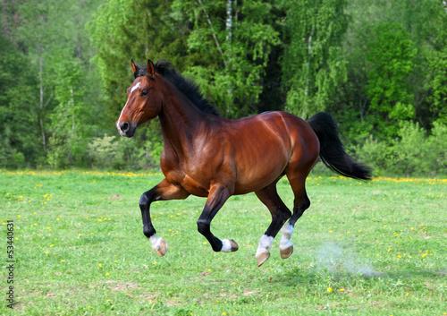 Fotomural Bay stallion horse running