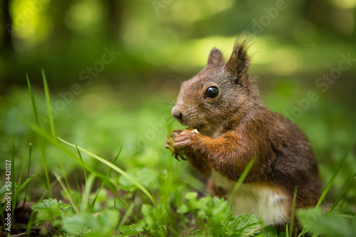 Tuinposter Eekhoorn squirrel eats a nut in the grass