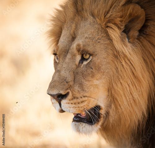 Fotobehang Leeuw Bright eyes Lion close up