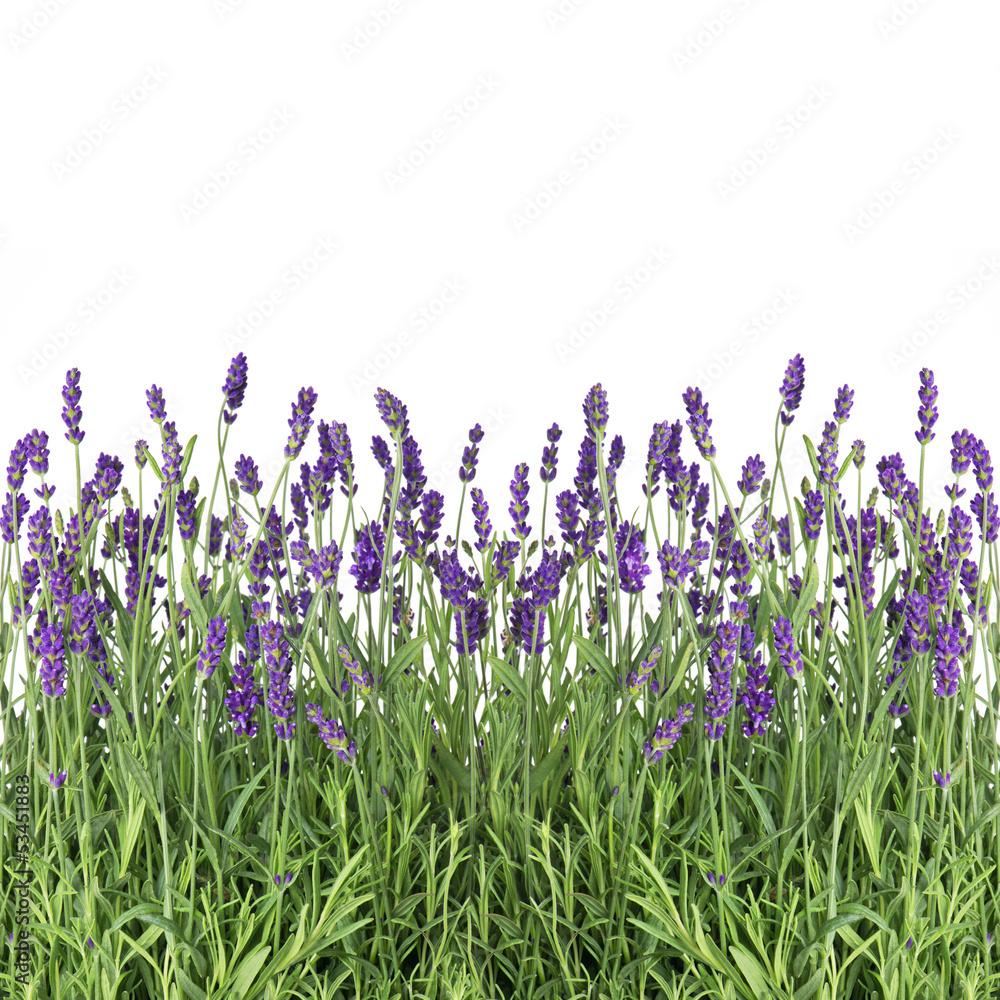 Fototapety, obrazy: Świeże kwiaty lawendy na białym tle