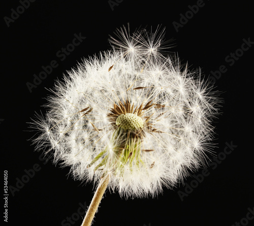 Fototapety, obrazy: Beautiful dandelion with seeds on black background