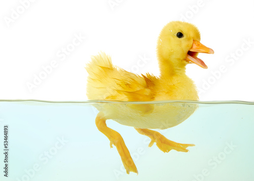 Fotografie, Obraz  Floating cute duckling isolated on white